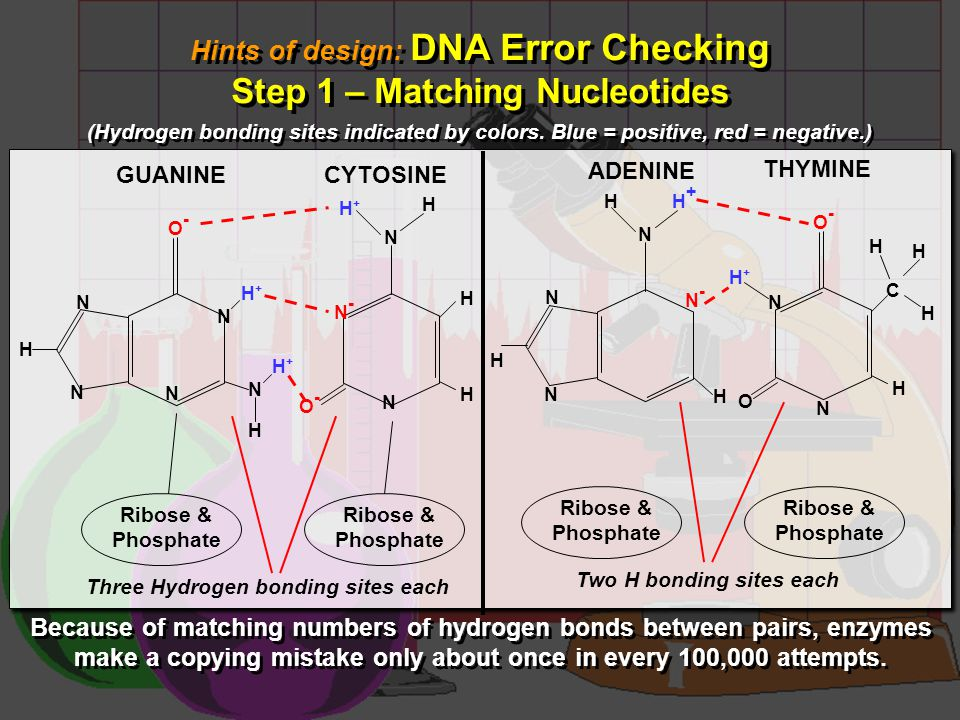 Hints of design: DNA Error Checking Step 2 – Preliminary Proofreading Hints of design: DNA Error Checking Step 2 – Preliminary Proofreading Because of the matching numbers of hydrogen bonds, A and T align at a precise distance, as do C and G. If any of the four is accidentally paired with the wrong type, the incorrect distances produce a bump on the newly forming DNA strand.