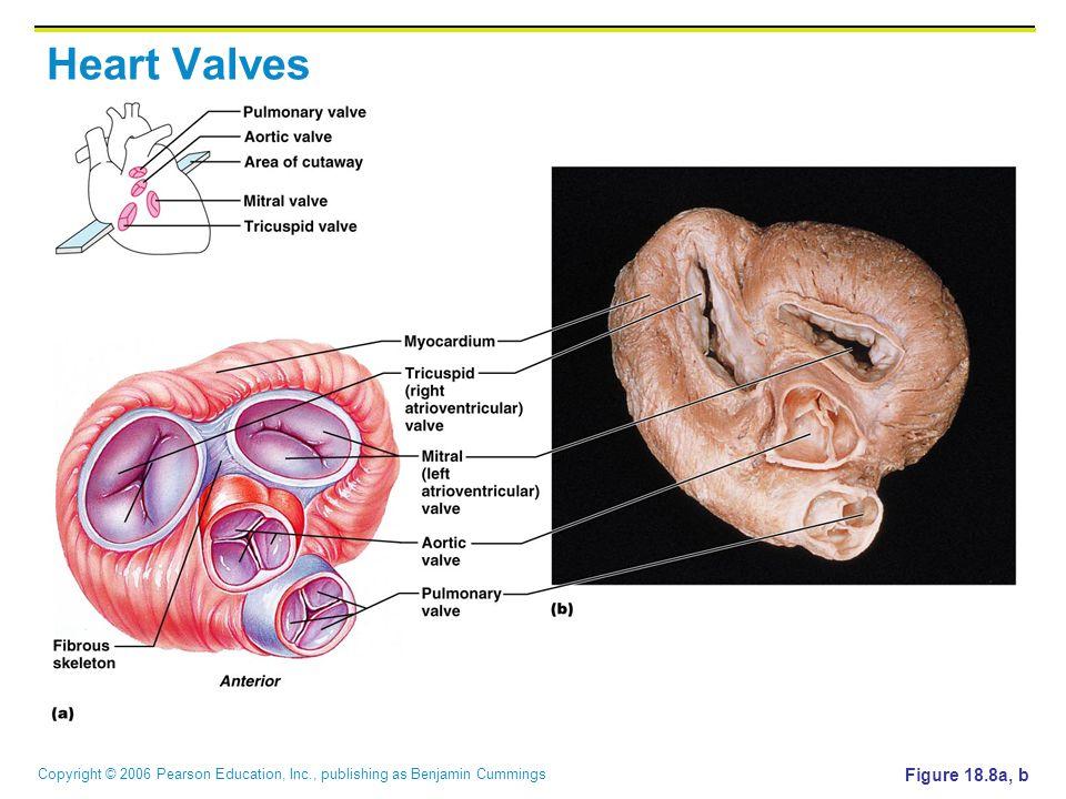 Copyright © 2006 Pearson Education, Inc., publishing as Benjamin Cummings Heart Valves Figure 18.8a, b