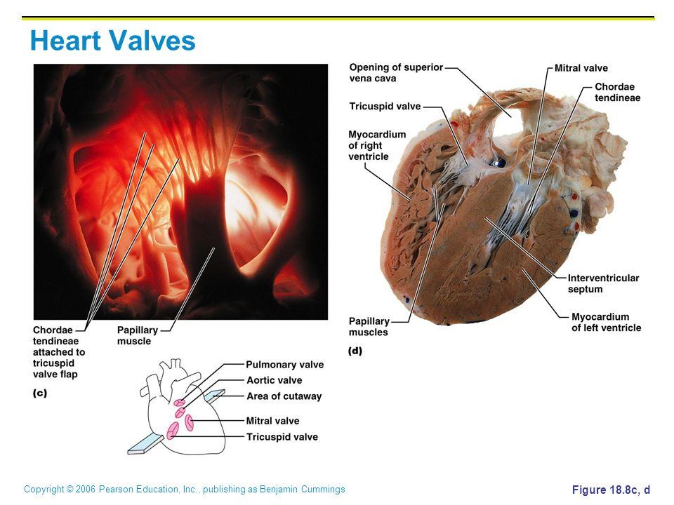 Copyright © 2006 Pearson Education, Inc., publishing as Benjamin Cummings Heart Valves Figure 18.8c, d