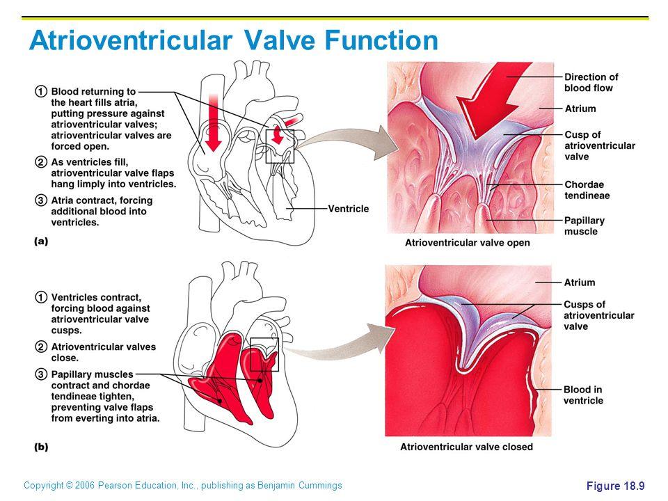 Copyright © 2006 Pearson Education, Inc., publishing as Benjamin Cummings Atrioventricular Valve Function Figure 18.9