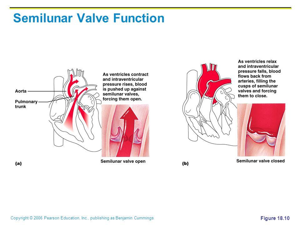 Copyright © 2006 Pearson Education, Inc., publishing as Benjamin Cummings Semilunar Valve Function Figure 18.10