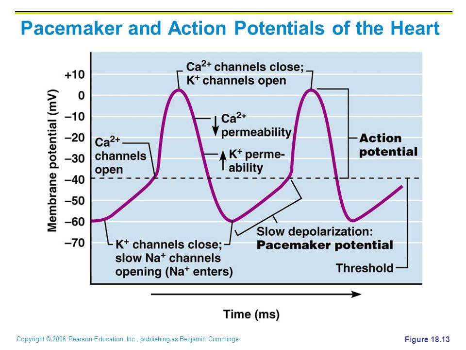 Copyright © 2006 Pearson Education, Inc., publishing as Benjamin Cummings Pacemaker and Action Potentials of the Heart Figure 18.13