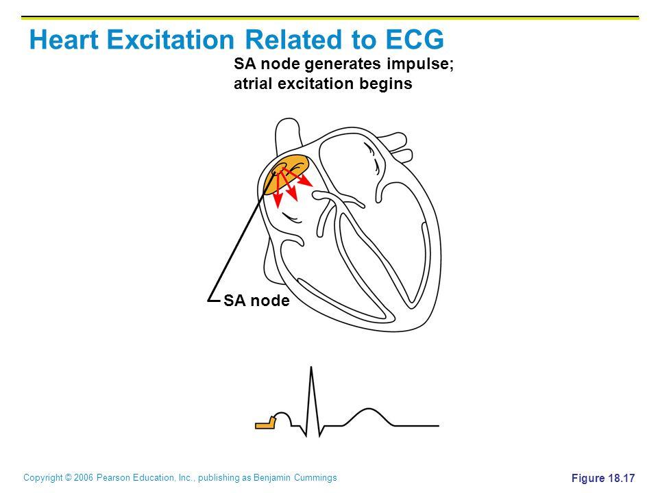 Copyright © 2006 Pearson Education, Inc., publishing as Benjamin Cummings SA node generates impulse; atrial excitation begins SA node Figure 18.17 Heart Excitation Related to ECG