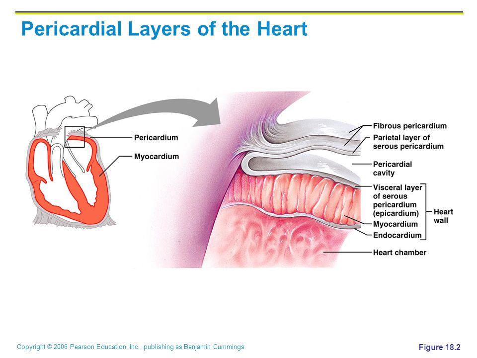 Copyright © 2006 Pearson Education, Inc., publishing as Benjamin Cummings Pericardial Layers of the Heart Figure 18.2