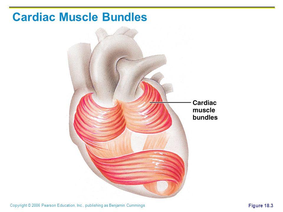 Copyright © 2006 Pearson Education, Inc., publishing as Benjamin Cummings Cardiac Muscle Bundles Figure 18.3
