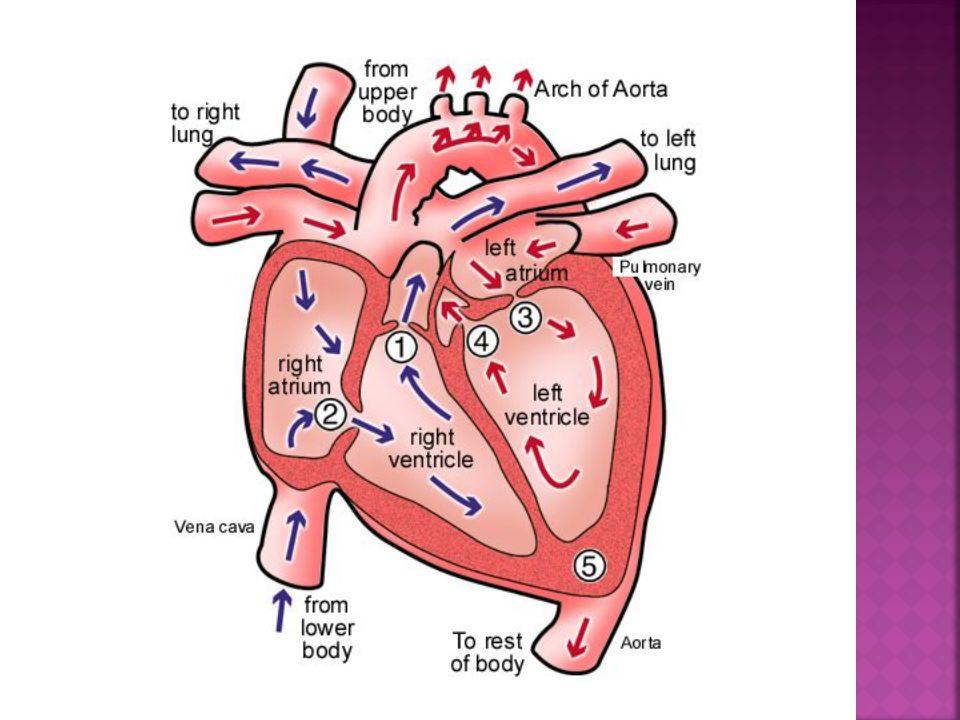  a.Sinoatrial node (SA node)  b.Atrioventricular node (AV node)  c.Atrioventricular bundle (AV bundle)  d.Right and left atrioventricular bundle branches  e.Purkinje fibers