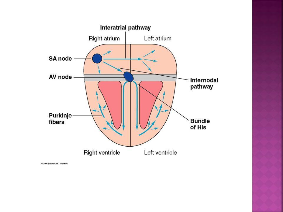  From SA node to Contraction of both Atriums  Internodal Bundles- Right Atrium  Interartial Bundle- Left Atrium  Internodal Bundles to Atrioventricular node