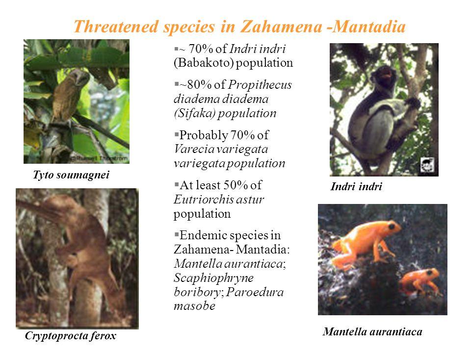 Threatened species in Zahamena -Mantadia §~ 70% of Indri indri (Babakoto) population §~80% of Propithecus diadema diadema (Sifaka) population §Probably 70% of Varecia variegata variegata population §At least 50% of Eutriorchis astur population §Endemic species in Zahamena- Mantadia: Mantella aurantiaca; Scaphiophryne boribory; Paroedura masobe Tyto soumagnei Cryptoprocta ferox Indri indri Mantella aurantiaca