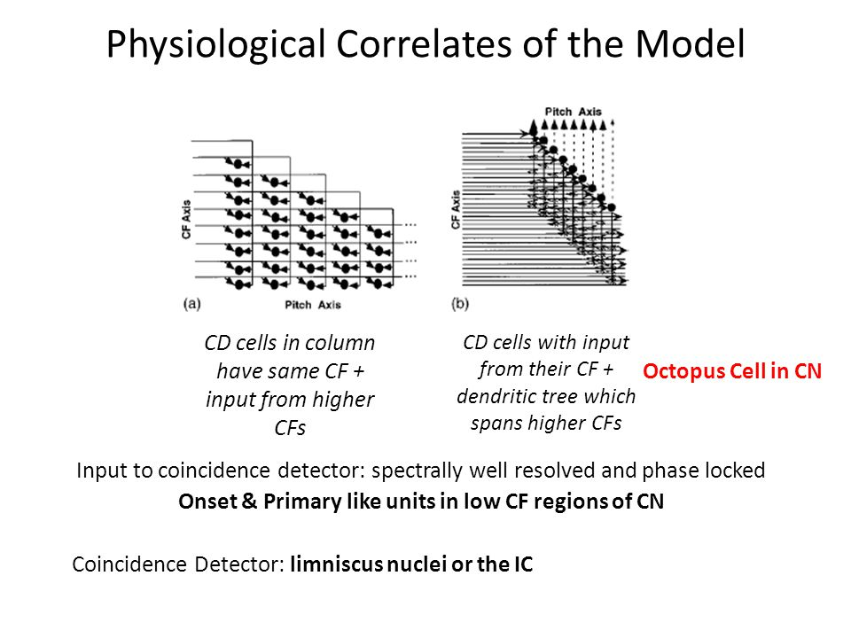 Physiological Correlates of the Model CD cells in column have same CF + input from higher CFs CD cells with input from their CF + dendritic tree which spans higher CFs Input to coincidence detector: spectrally well resolved and phase locked Onset & Primary like units in low CF regions of CN Coincidence Detector: limniscus nuclei or the IC Octopus Cell in CN