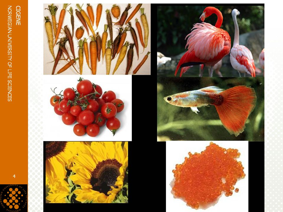 www.umb.no NORWEGIAN UNIVERSITY OF LIFE SCIENCES CIGENE 4 Carotenoids  Naturally synthesized pigments present throughout the animal kingdom  Function as colouring agents, provitamin A compounds and antioxidants  Xanthophyll astaxanthin is the major carotenoid in aquatic species  High antioxidant activity