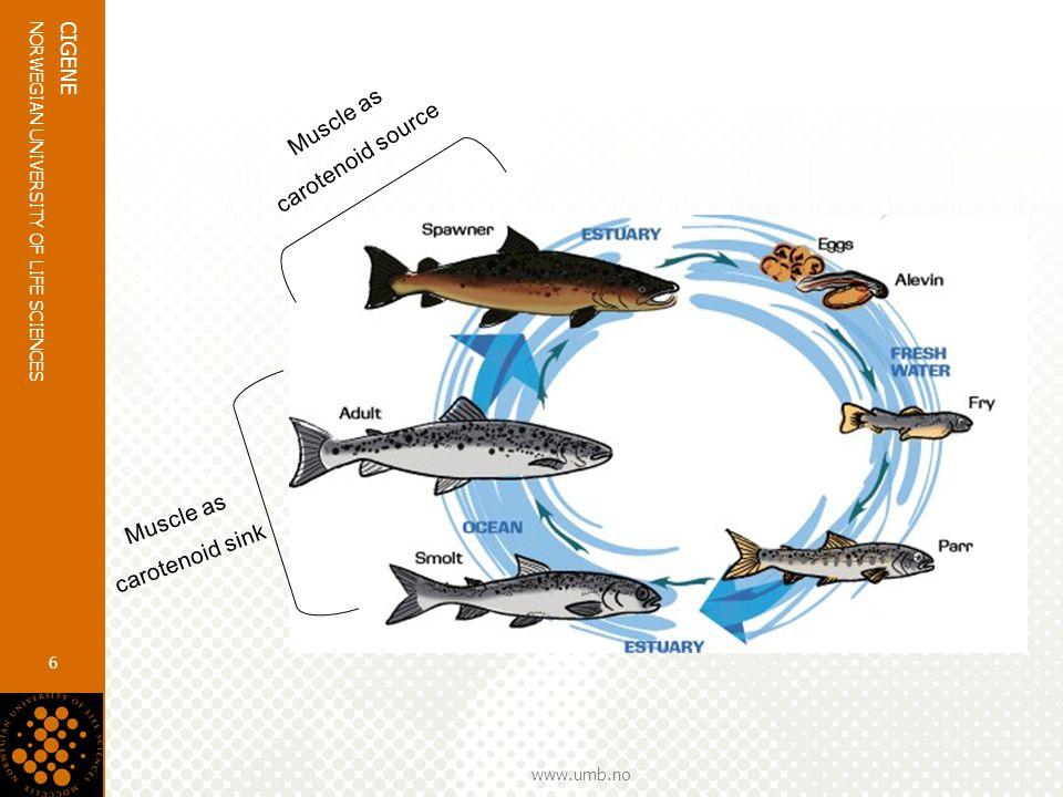 www.umb.no NORWEGIAN UNIVERSITY OF LIFE SCIENCES CIGENE 6 Muscle as carotenoid sink Muscle as carotenoid source
