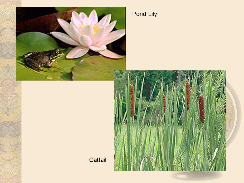 Pond Lily Cattail