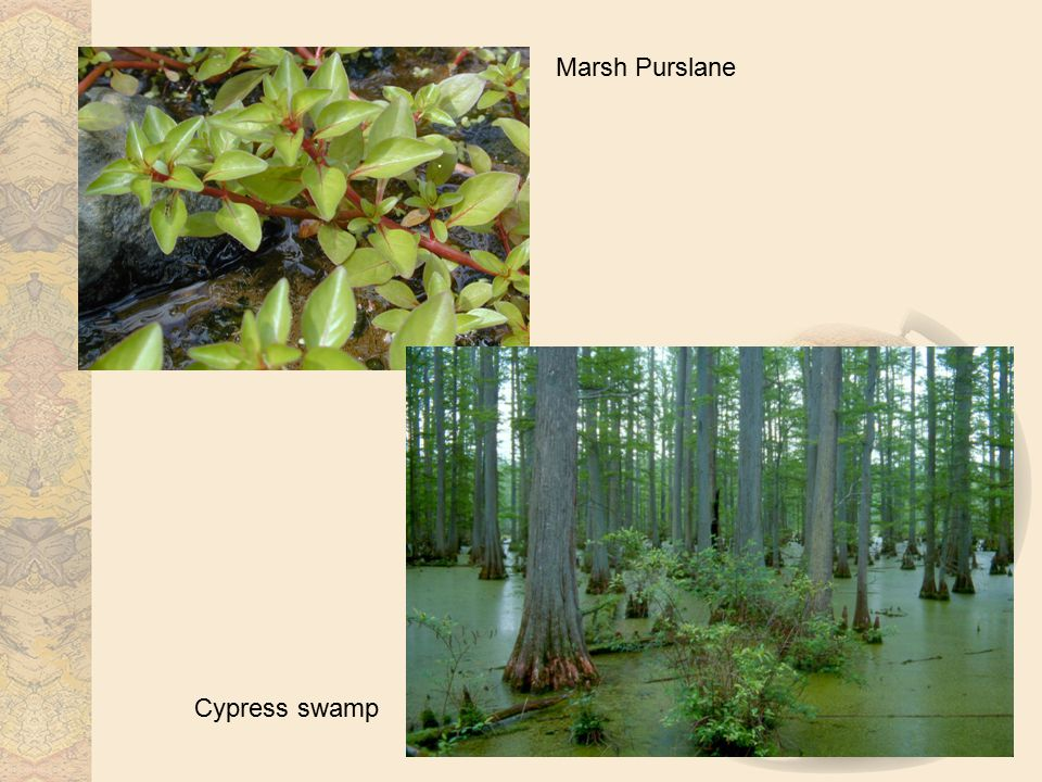Marsh Purslane Cypress swamp