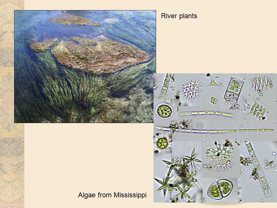 River plants Algae from Mississippi