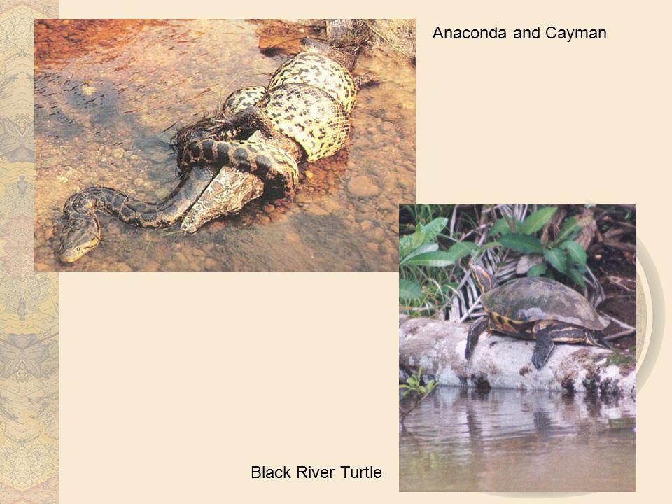 Anaconda and Cayman Black River Turtle