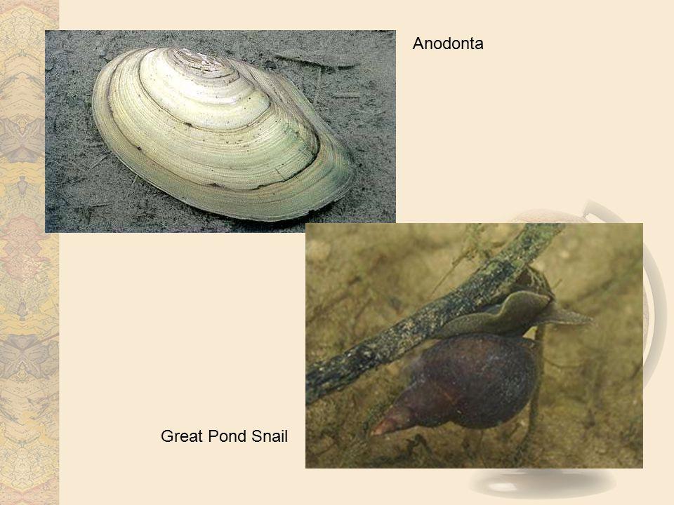 Anodonta Great Pond Snail