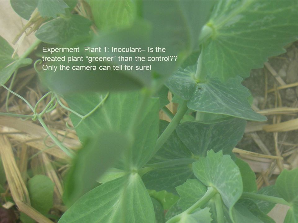 Experiment Plant 1: Inoculant– Is the treated plant greener than the control .
