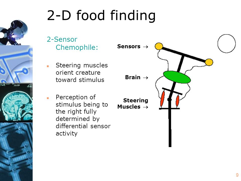9 2-D food finding Sensors  Brain  Steering Muscles  2-Sensor Chemophile: n Steering muscles orient creature toward stimulus n Perception of stimulus being to the right fully determined by differential sensor activity