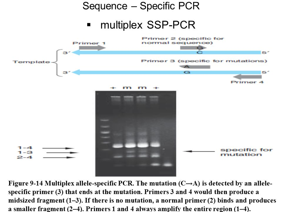  multiplex SSP-PCR Sequence – Specific PCR Figure 9-14 Multiplex allele-specific PCR. The mutation (C→A) is detected by an allele- specific primer (3