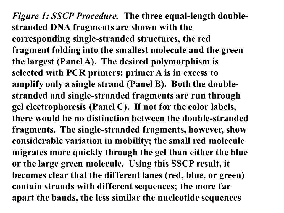 Figure 1: SSCP Procedure. The three equal-length double- stranded DNA fragments are shown with the corresponding single-stranded structures, the red f