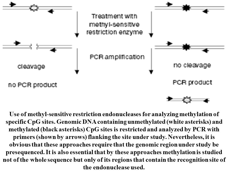 ]. Use of methyl-sensitive restriction endonucleases for analyzing methylation of specific CpG sites. Genomic DNA containing unmethylated (white aster
