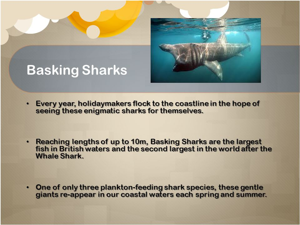 Basking Sharks Every year, holidaymakers flock to the coastline in the hope of seeing these enigmatic sharks for themselves. Every year, holidaymakers