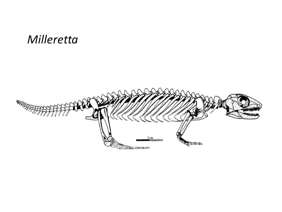 Milleretta