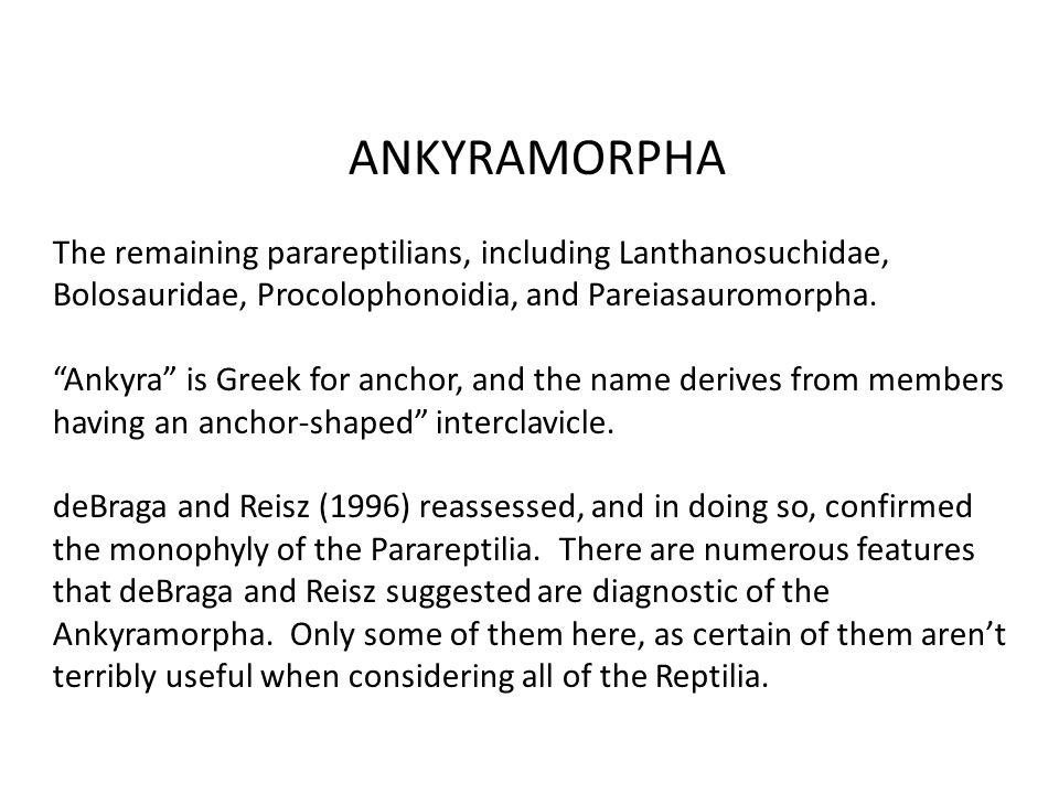 ANKYRAMORPHA The remaining parareptilians, including Lanthanosuchidae, Bolosauridae, Procolophonoidia, and Pareiasauromorpha.