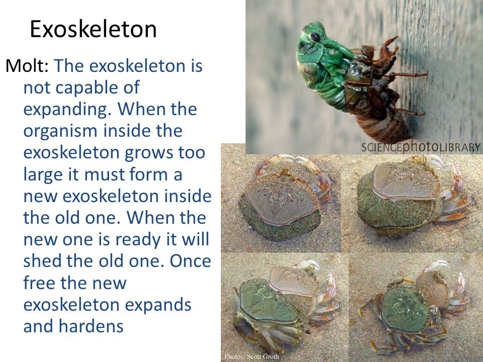 Exoskeleton Molt: The exoskeleton is not capable of expanding.