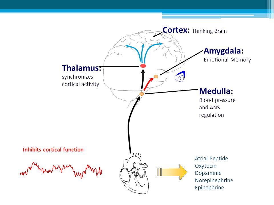Amygdala: Emotional Memory Thalamus: synchronizes cortical activity Medulla: Blood pressure and ANS regulation Cortex: Thinking Brain Inhibits cortica