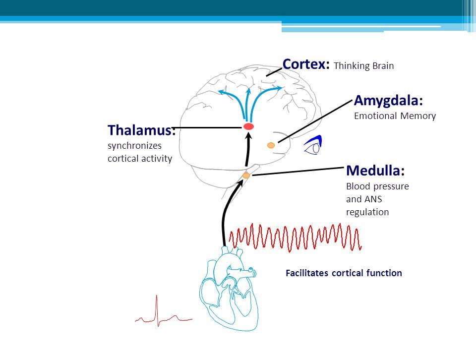 Amygdala: Emotional Memory Thalamus: synchronizes cortical activity Medulla: Blood pressure and ANS regulation Cortex: Thinking Brain Facilitates cort