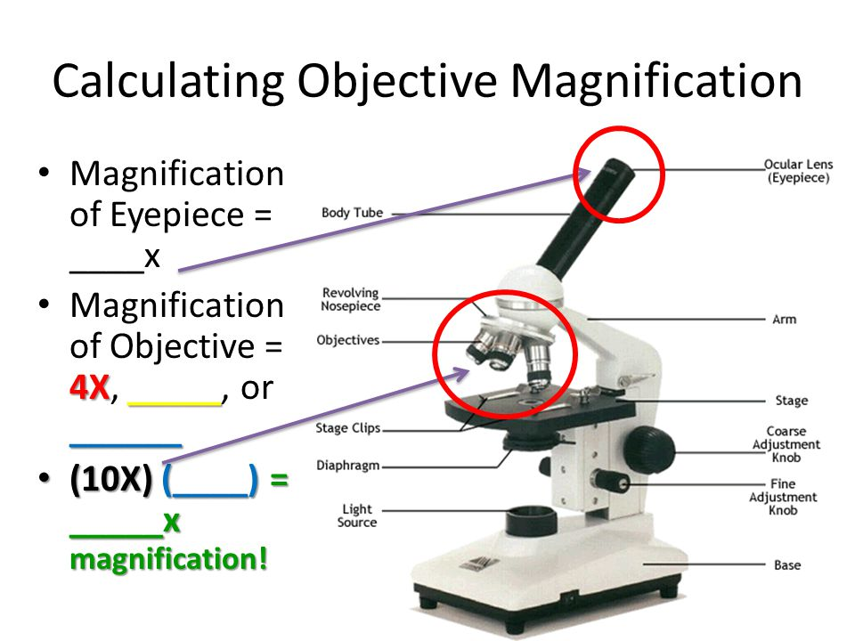 Calculating Objective Magnification Magnification of Eyepiece = ____x 4X_____ ______ Magnification of Objective = 4X, _____, or ______ (10X) (____) = _____x magnification.