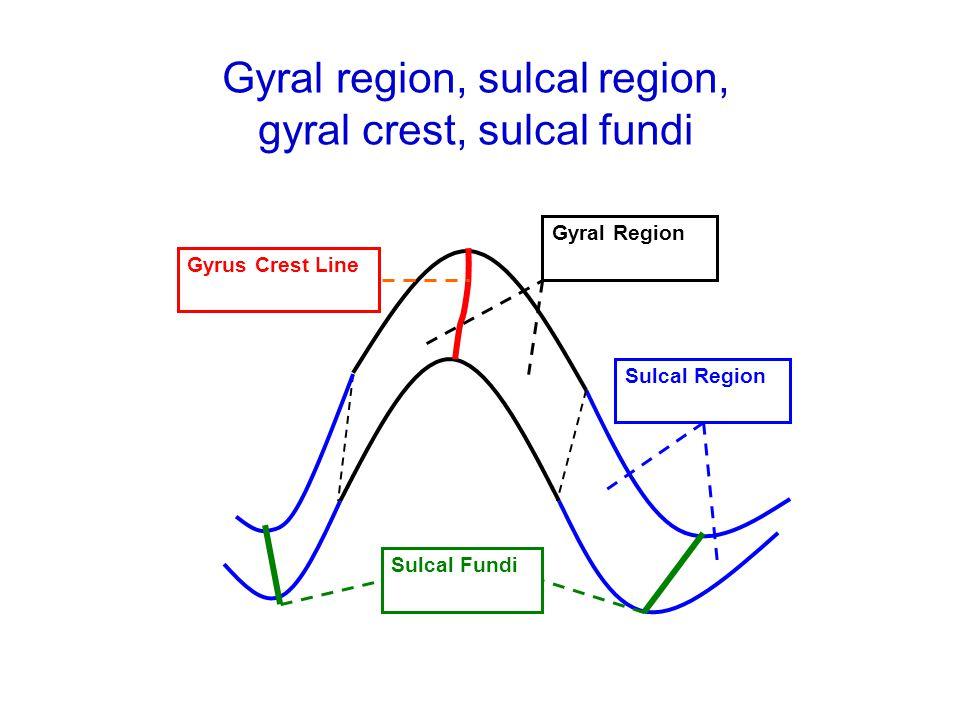 Gyral region, sulcal region, gyral crest, sulcal fundi Sulcal Region Gyrus Crest Line Gyral Region Sulcal Fundi