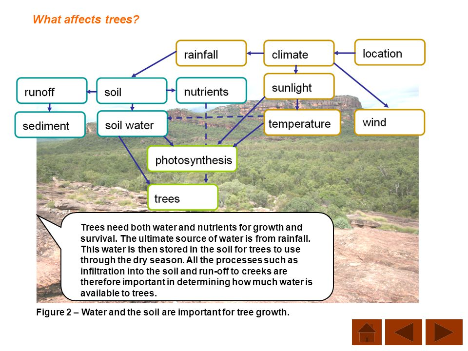 What affects trees? Figure 2 – Water and the soil are important for tree growth. Trees need both water and nutrients for growth and survival. The ulti