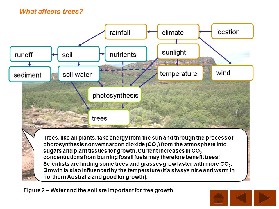 What affects trees? Figure 2 – Water and the soil are important for tree growth. Trees, like all plants, take energy from the sun and through the proc