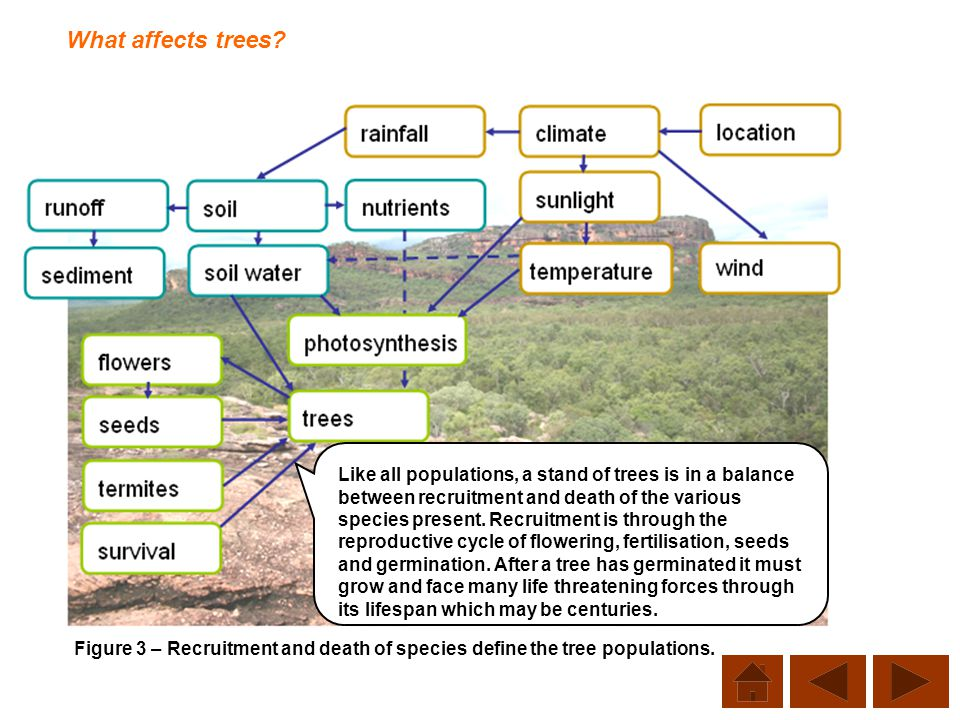 What affects trees? Figure 3 – Recruitment and death of species define the tree populations. Like all populations, a stand of trees is in a balance be