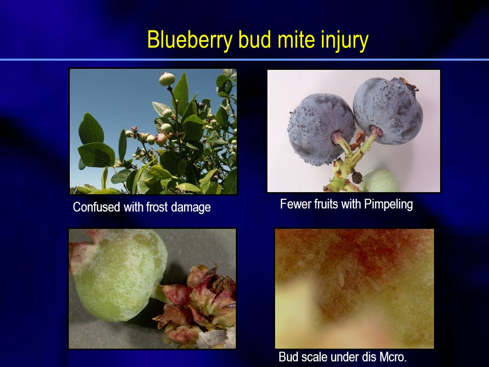 Blueberry bud mite injury Bud scale under dis Mcro. Confused with frost damage Fewer fruits with Pimpeling