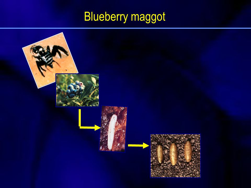 Blueberry maggot