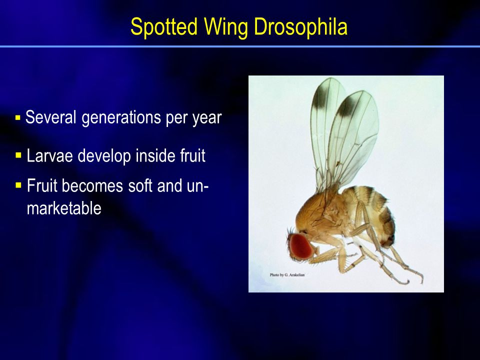  Several generations per year  Larvae develop inside fruit  Fruit becomes soft and un- marketable Spotted Wing Drosophila