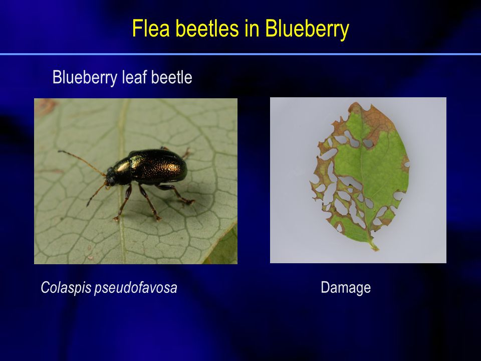 Flea beetles in Blueberry Colaspis pseudofavosa Damage Blueberry leaf beetle