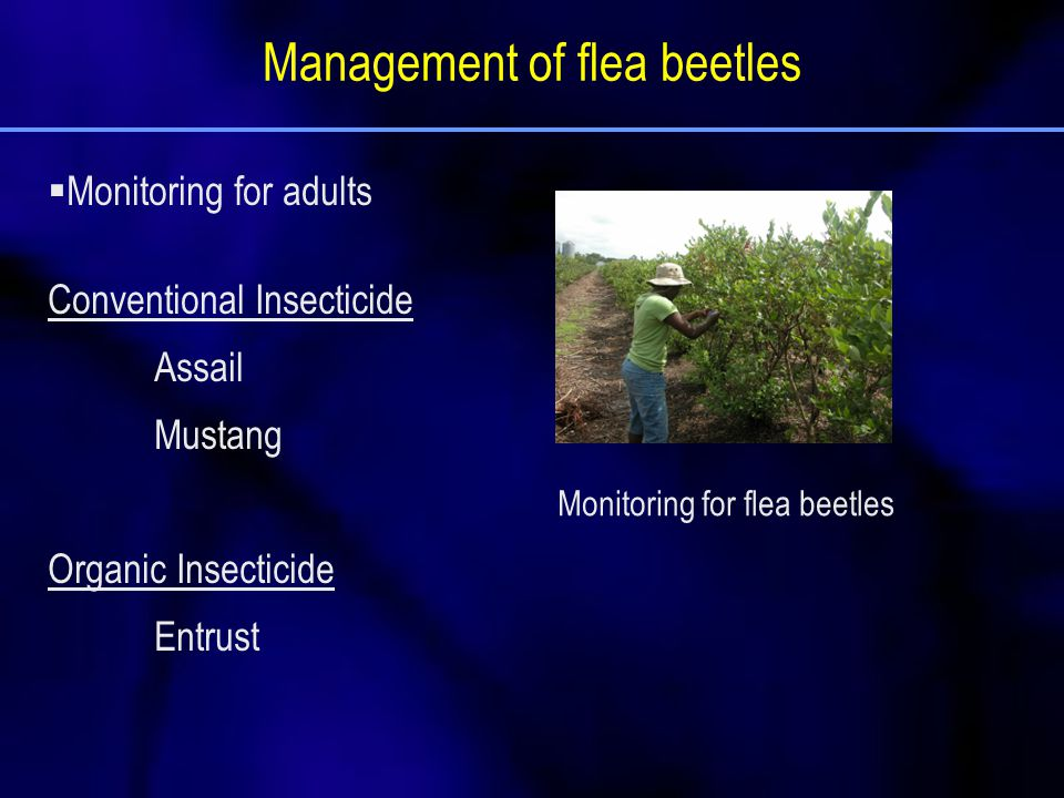 Management of flea beetles  Monitoring for adults Conventional Insecticide Assail Mustang Organic Insecticide Entrust Monitoring for flea beetles
