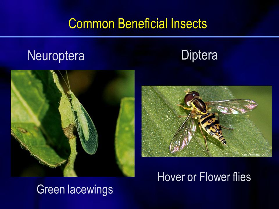 Green lacewings Hover or Flower flies Common Beneficial Insects Neuroptera Diptera