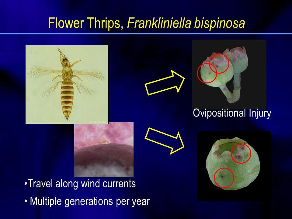 Size of thrips populations in relation to flower phenology 107020901 Percentages of opened flowers