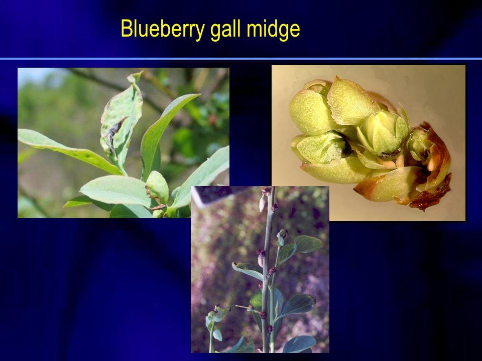 Blueberry gall midge