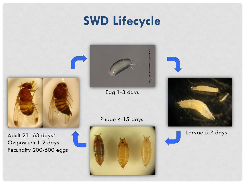 SWD Lifecycle http://jenny.tfrec.wsu.edu/opm/gallery.php pn =165 Egg 1-3 days Larvae 5-7 days Pupae 4-15 days Adult 21- 63 days* Oviposition 1-2 days Fecundity 200-600 eggs
