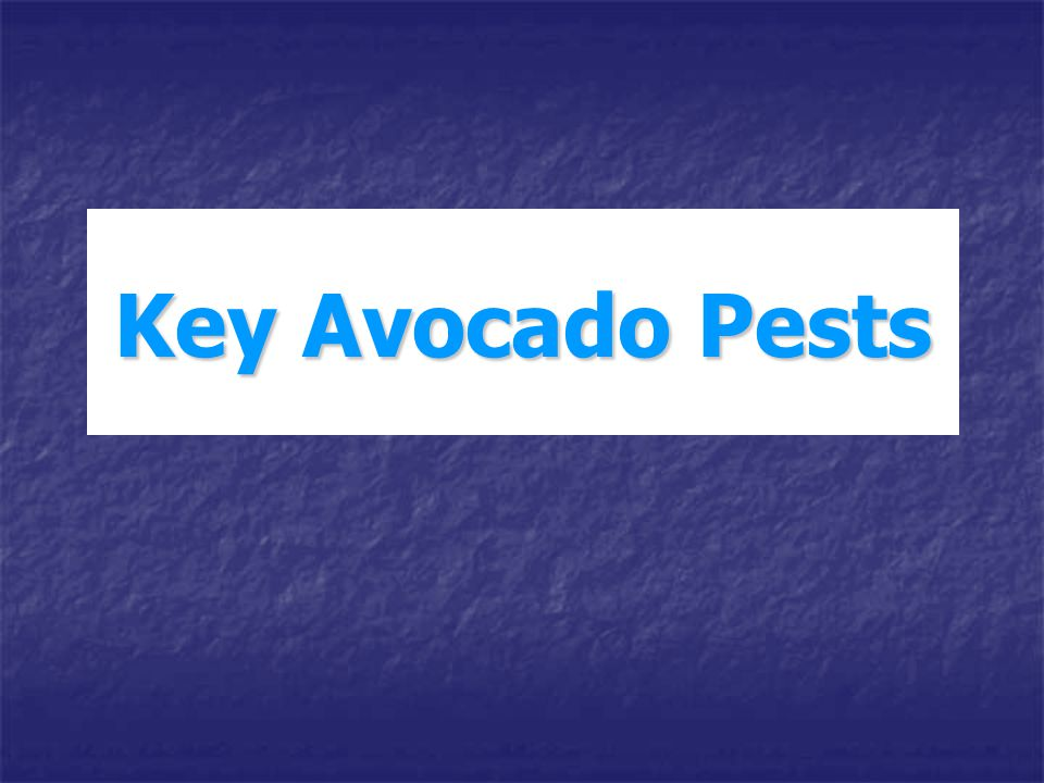 Key Avocado Pests