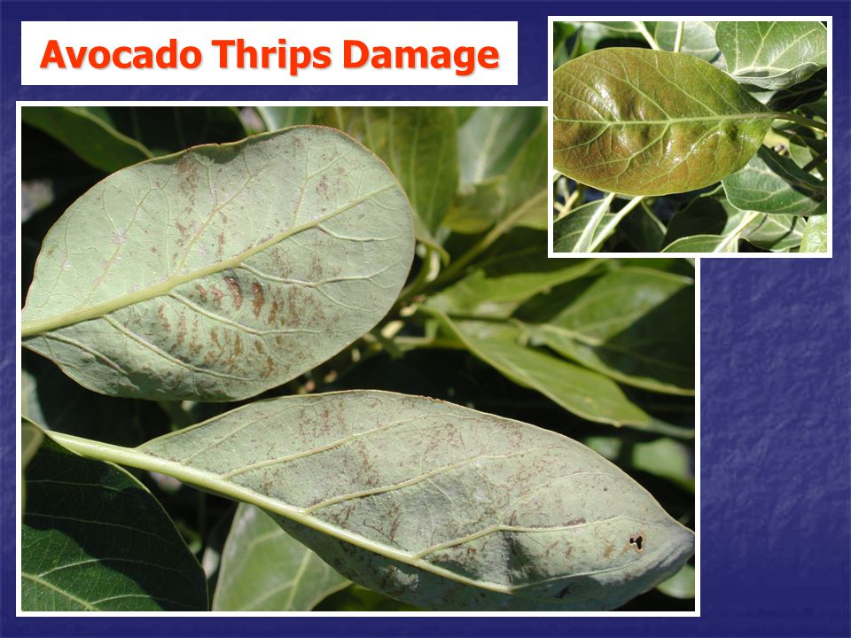 Avocado Thrips Damage