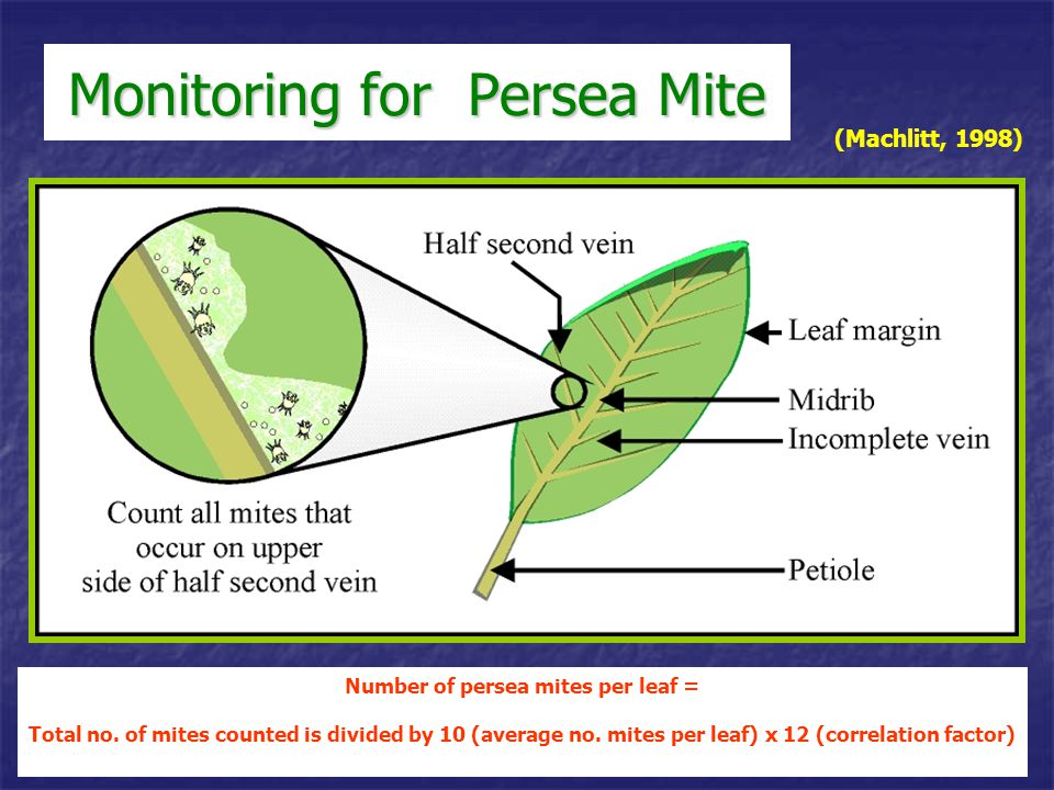 Monitoring for Persea Mite (Machlitt, 1998) Number of persea mites per leaf = Total no. of mites counted is divided by 10 (average no. mites per leaf)