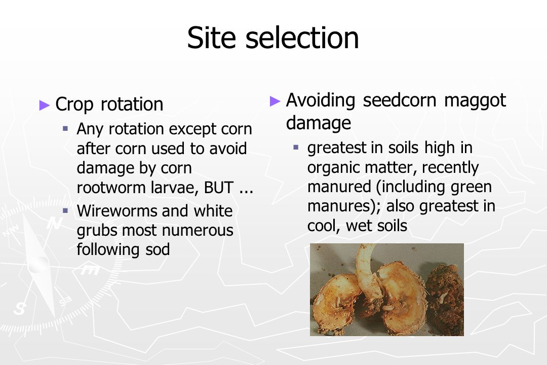 Site selection ► ► Crop rotation   Any rotation except corn after corn used to avoid damage by corn rootworm larvae, BUT...   Wireworms and white