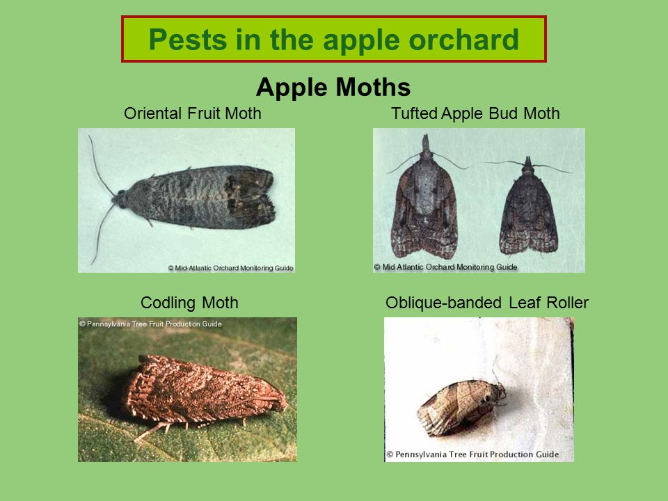 Apple Moths Tufted Apple Bud MothOriental Fruit Moth Codling MothOblique-banded Leaf Roller